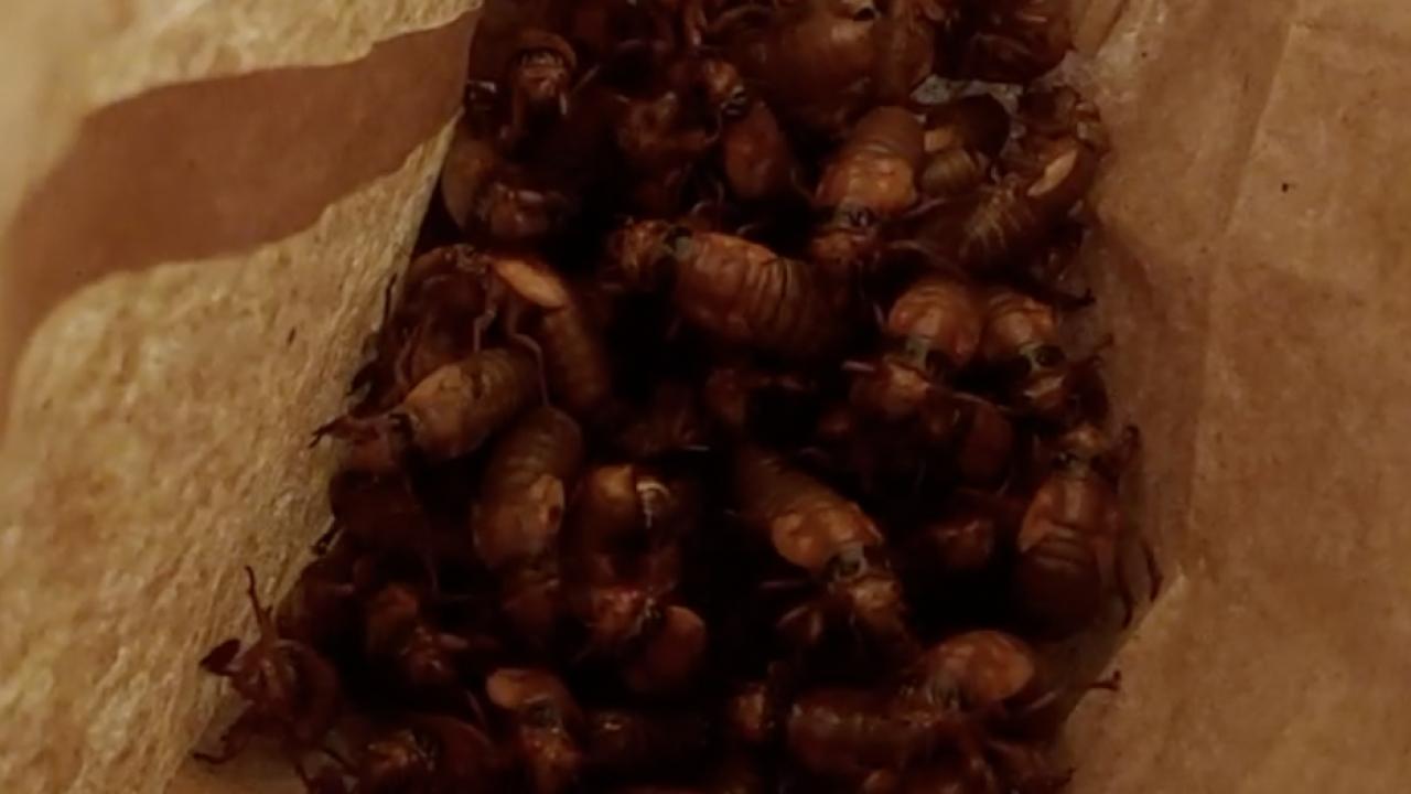 Bag of Cicadas