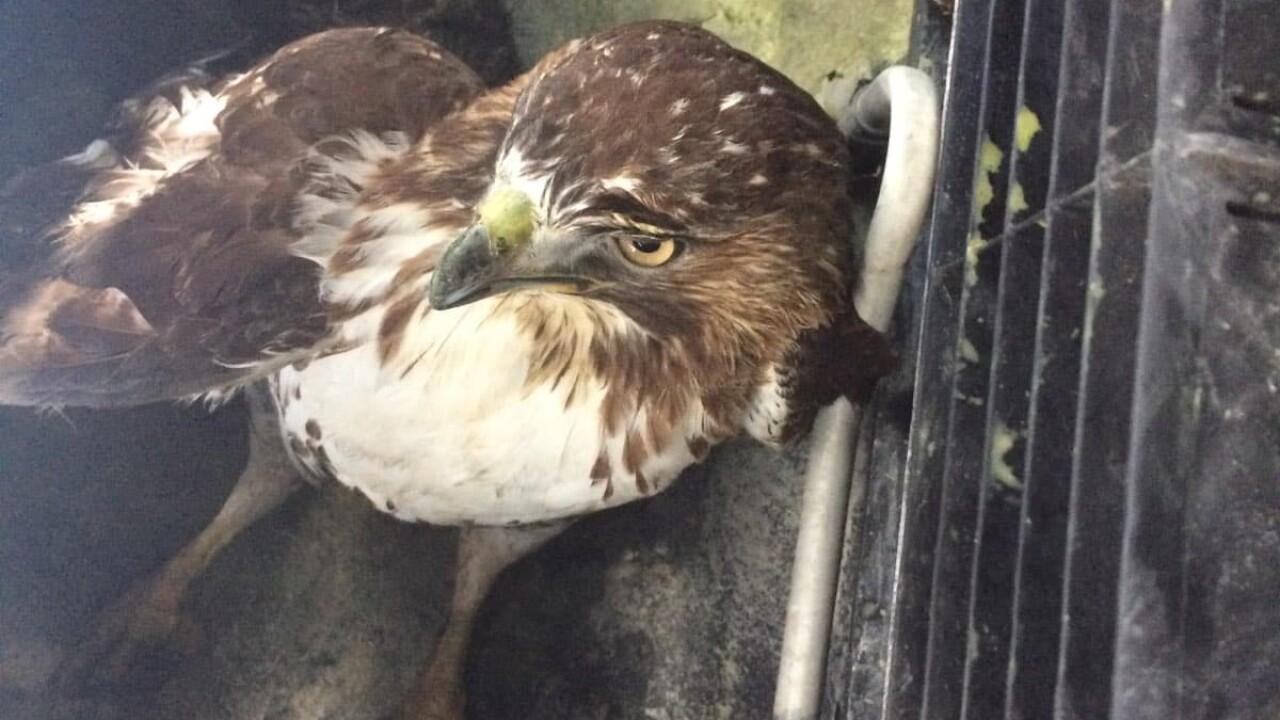 hawk rescued