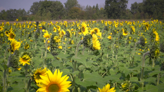 Farmer plants millions of sunflowers to lift spirits during tough year