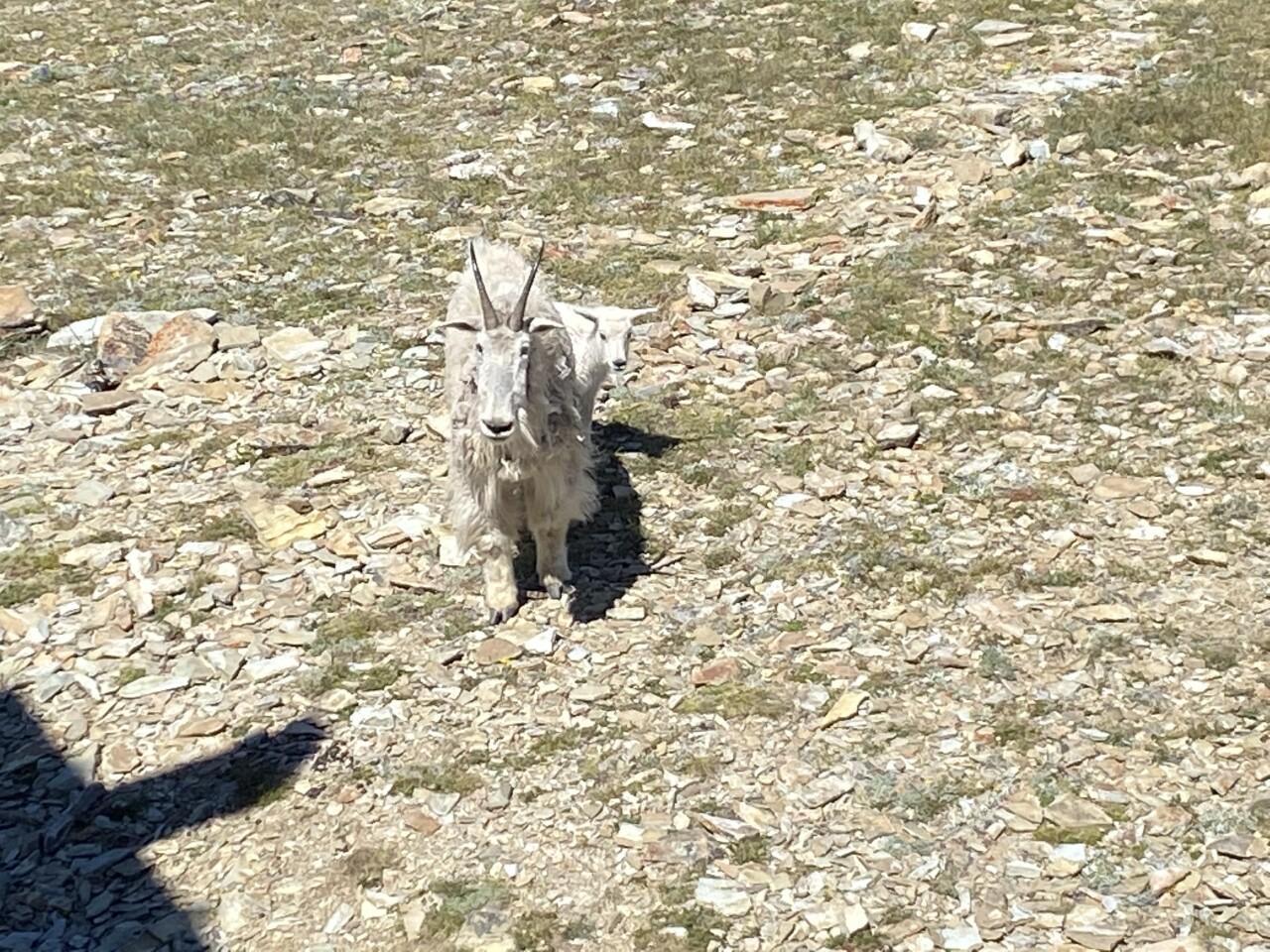 Mountain goats at Stonewall Mountain Lookout