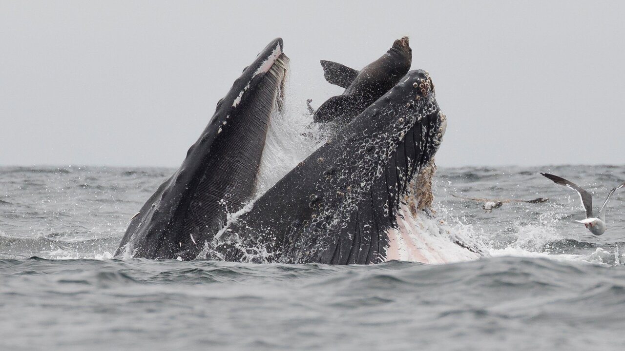 A rare photograph shows a sea lion trapped in the mouth of a humpback whale