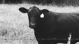 Stray cow opelousas.png