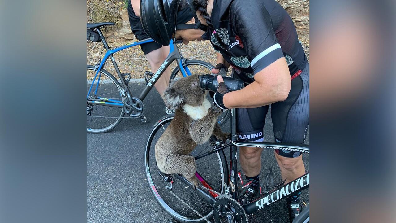 Thirsty koala chugs cyclist's water amid heatwave in Australia