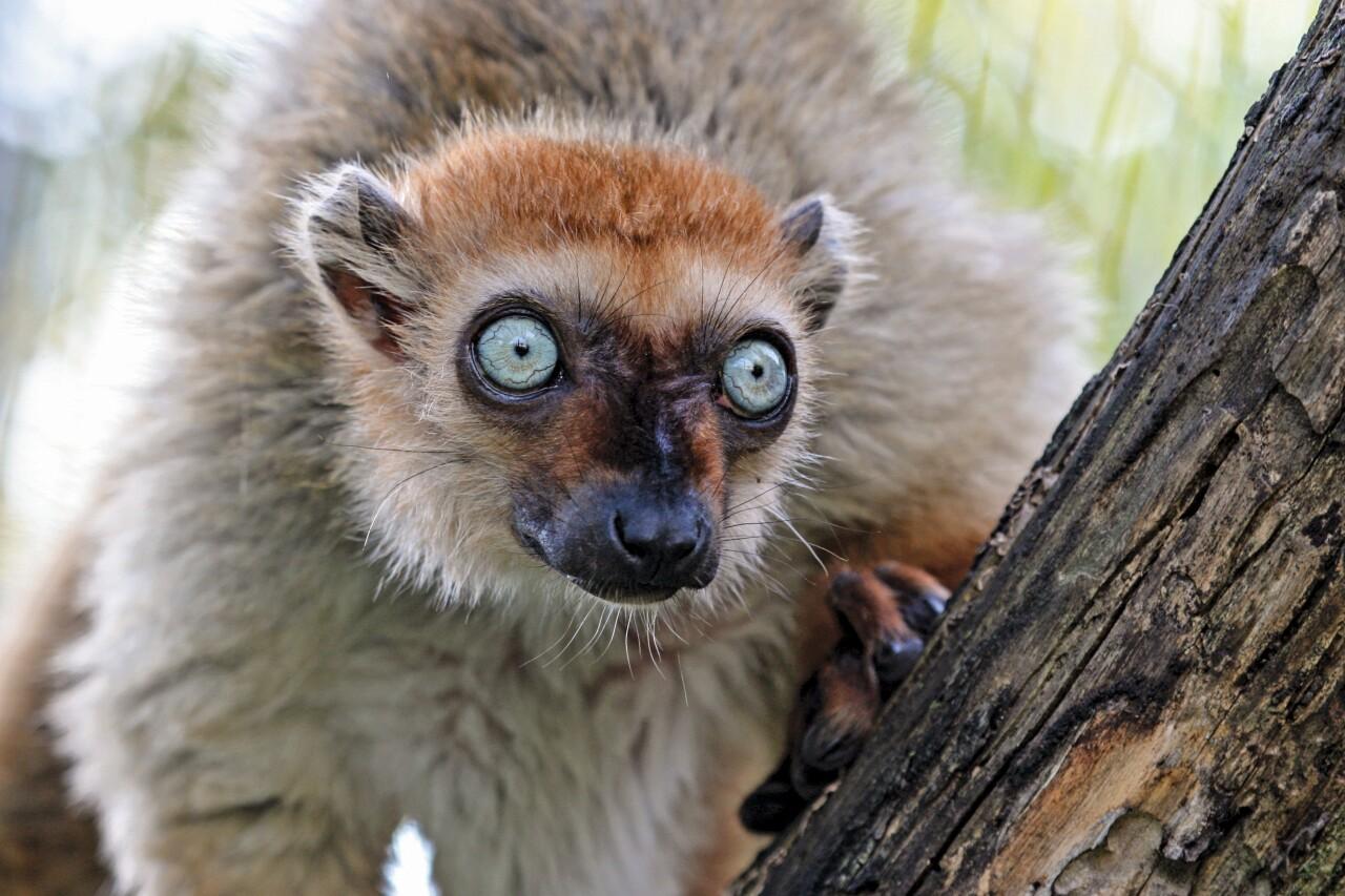 Blue-eyed black lemur4-Fred Cate.jpg