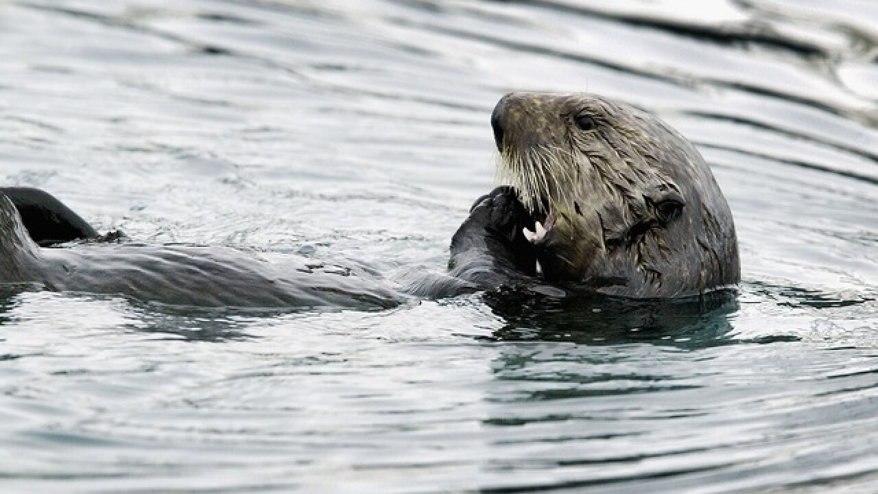 Officials search for person who shot 3 otters in Calif.