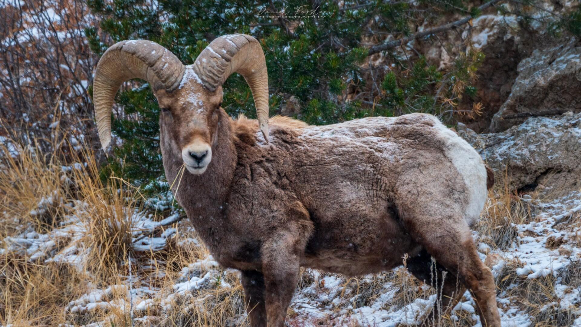 Rams Daniel Forster 1.jpg