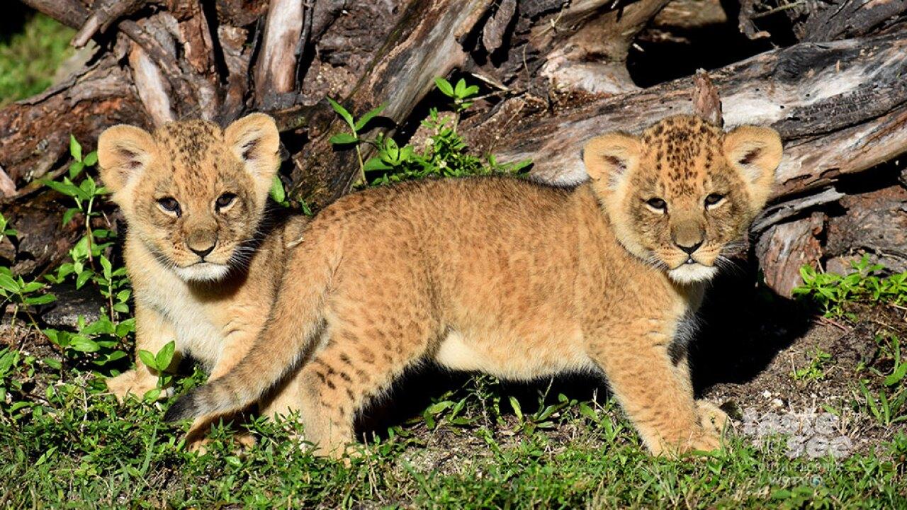TSWPTV-CMS-IMAGE-1000-563-baby-cubs.jpg
