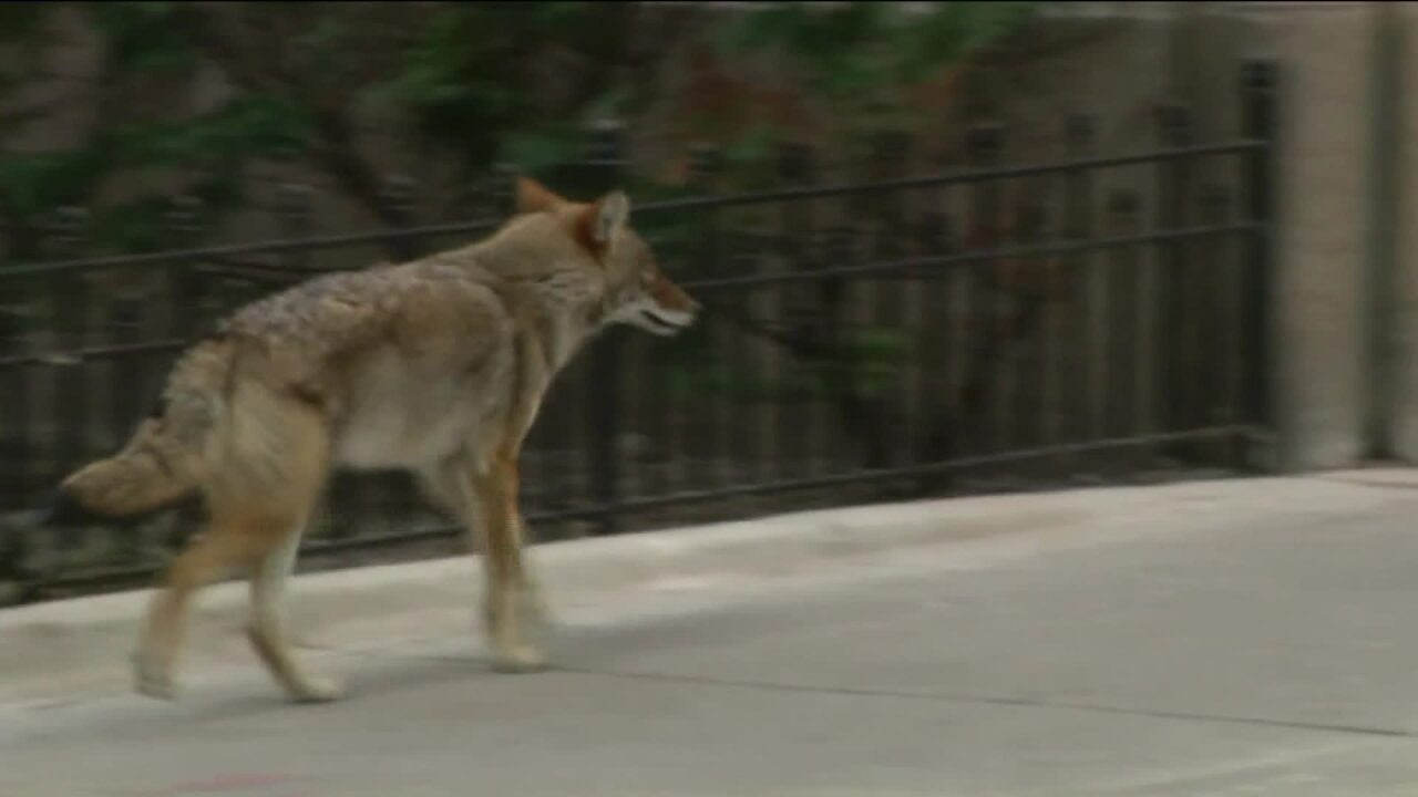 Chicago hasn't had a coyote attack in decades. It had 2 in one day