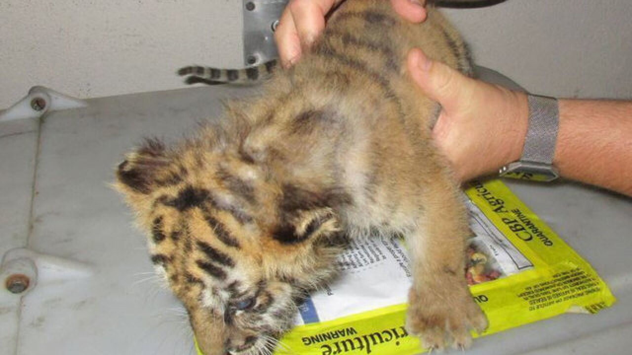 Tiger cub seized by agents at border crossing