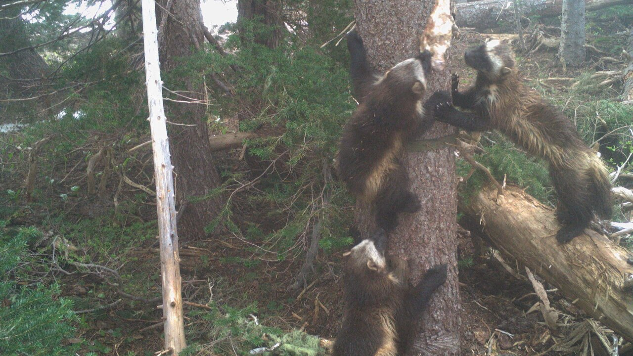 Wolverine mom and 'kits' spotted on Mount Rainier; first time in 100 years
