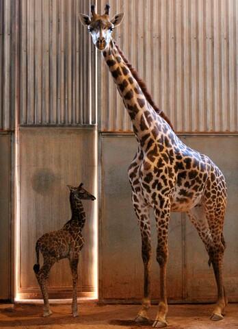 Phoenix Zoo welcomes baby giraffe