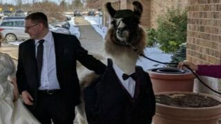 Man Brought A Llama To His Sister's Wedding And The Look On Her Face Is Priceless