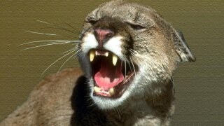 wptv-mountain-lion-ap-.jpg