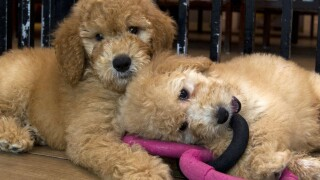 Adopting a pet during quarantine? Watch out for this puppy scam with a 'COVID-19 twist'
