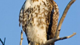 Yellowstone Park to host annual Hawk Watch