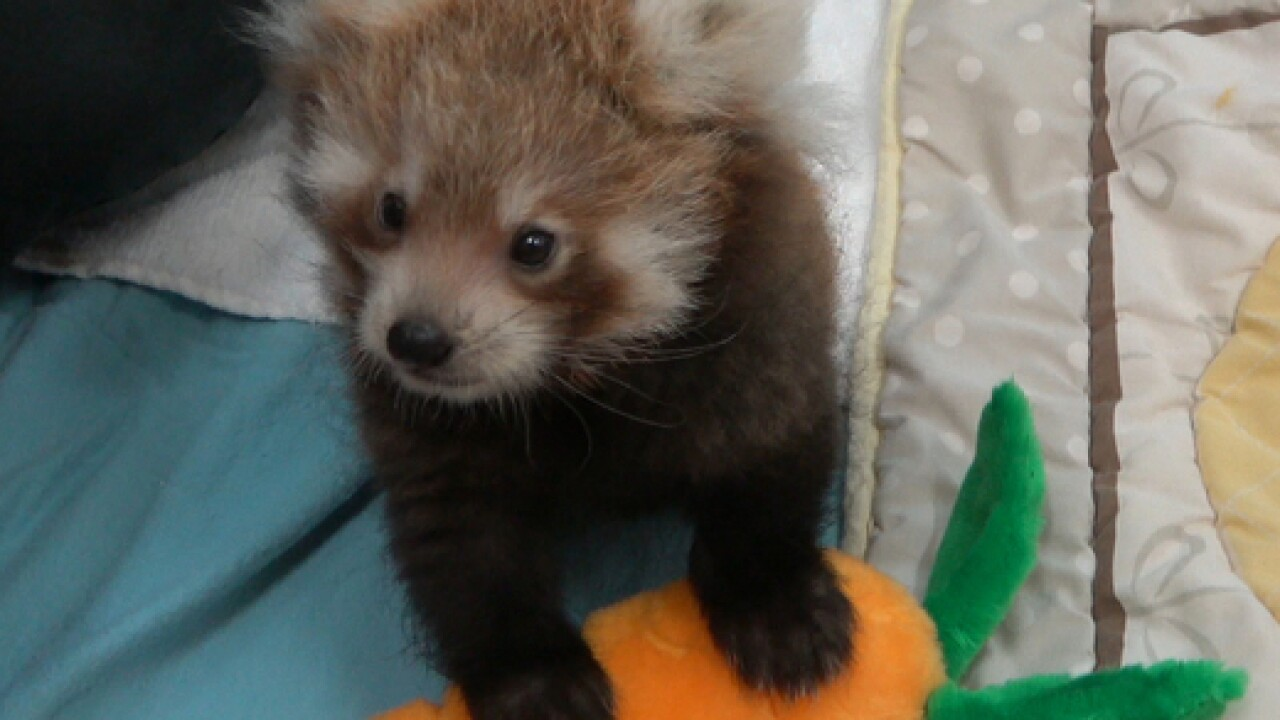 Zoo Announces Baby Red Panda Now On Exhibit