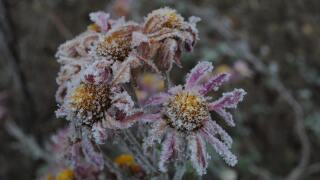 File image of frost on flowers.