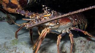 Divers taking advantage of Lobster Mini Season