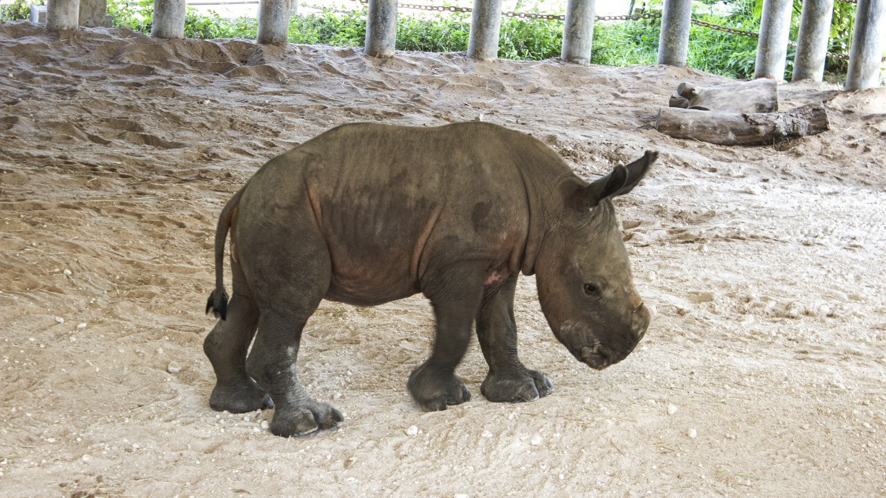 ZooTampa announced the birth of a southern white rhino, the eighth to be born in Tampa as part of a plan to help species.
