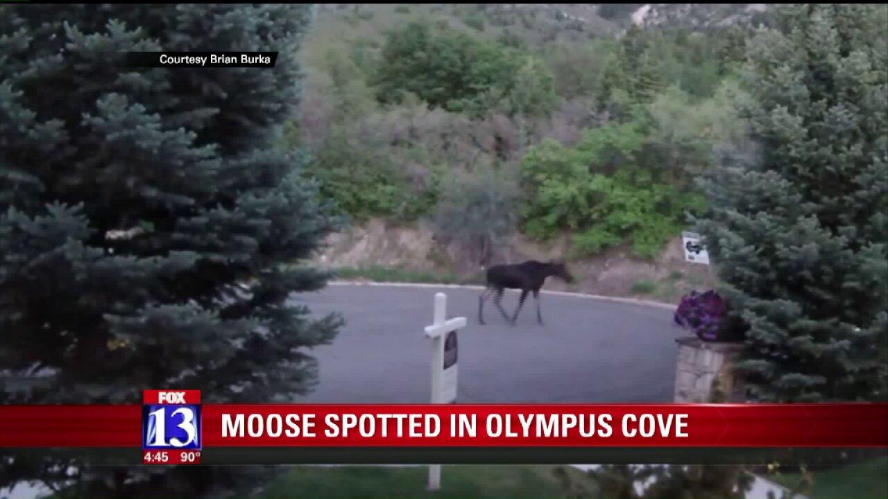 Moose visits Olympus CoveCul-de-sac