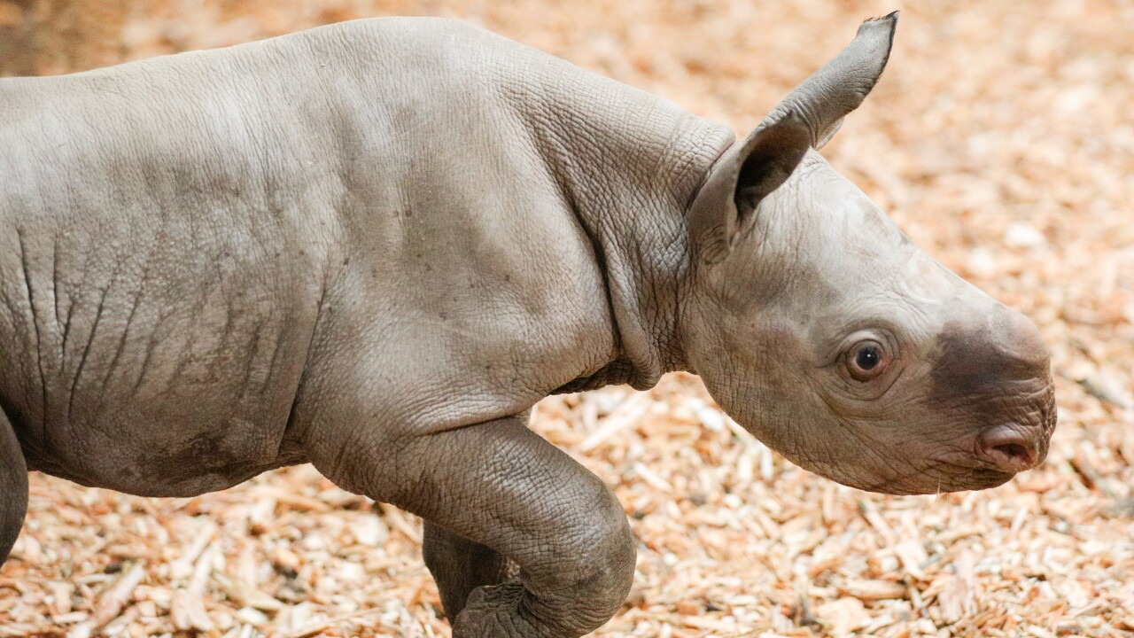potter park zoo black rhino calf 7.JPG