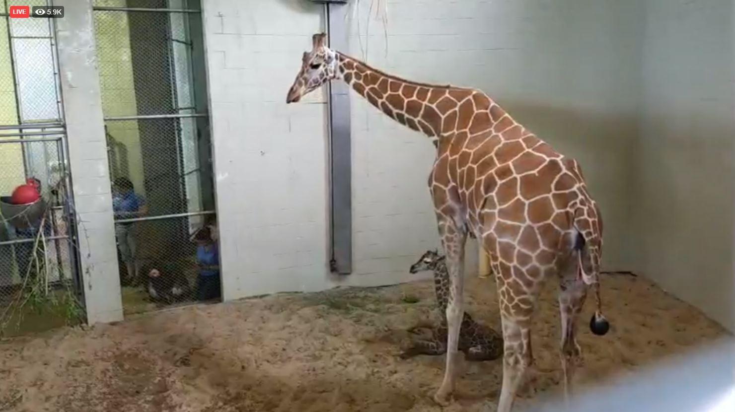 Giraffe Calf at Cheyenne Mountain Zoo