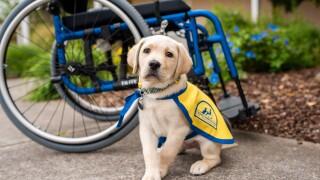 Canine Companions puppy Phil.jpg