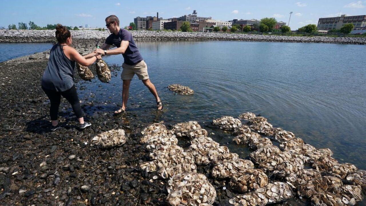 National Oyster Day: Groups work to restore oyster population in LynnhavenRiver