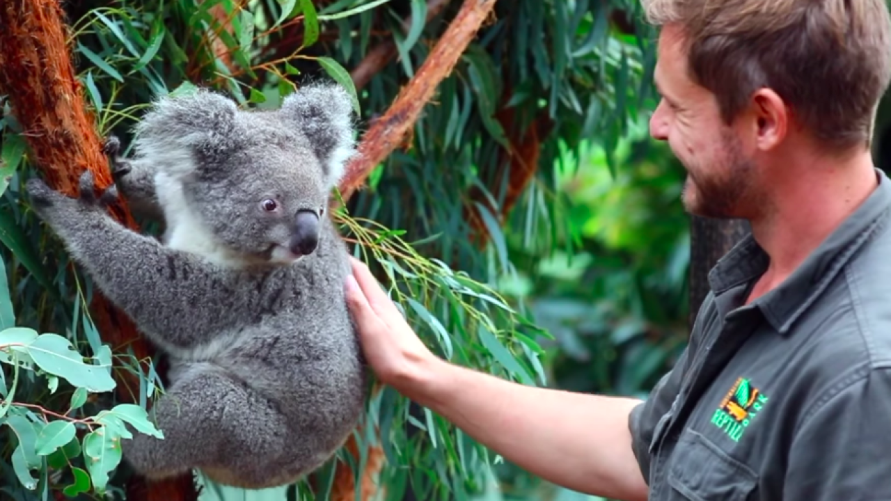 First koala born since tragic Australian bushfires makes world debut