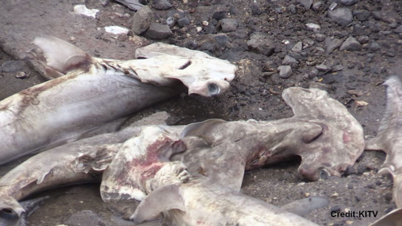 50-100 dead hammerhead sharks found in Honolulu