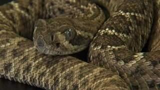 Fire officials: Man bitten by rattlesnake in Surprise
