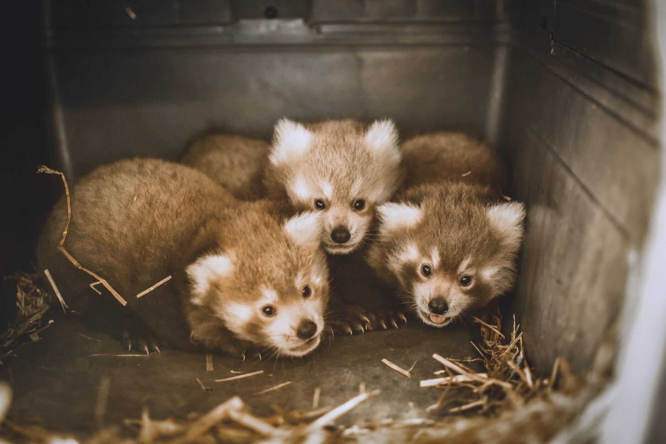Photos: Masu the Red Panda gives birth to triplets at The VirginiaZoo!