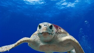 Recovered sea turtle getting released with a satellite tracker