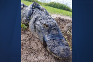 Florida man attacked by 8-foot alligator while walking dog