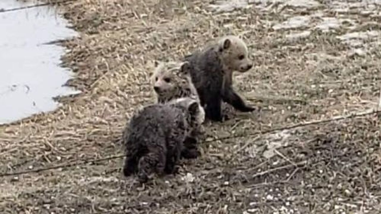 Three grizzly bear cubs rescued near Dupuyer