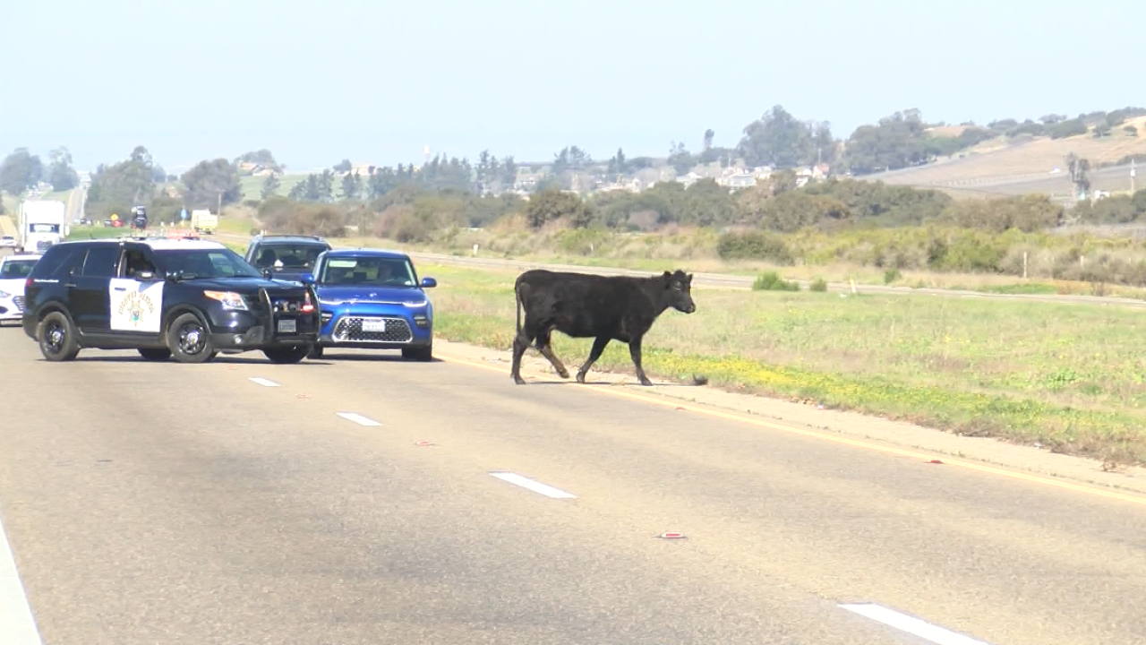 COW ON 101.PNG