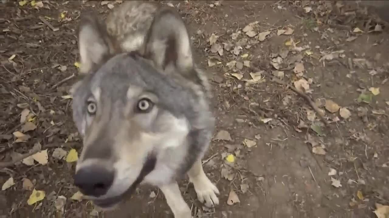Orphaned wolf pup at ZooMontana is adjusting to his new home