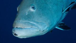 WPTV goliath grouper