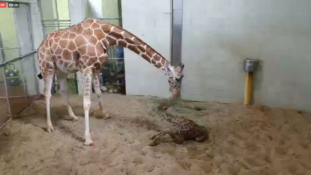 Baby Giraffe 1.JPG