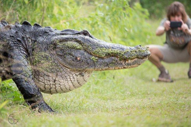 VIDEO: Huge gator spotted in Lakeland