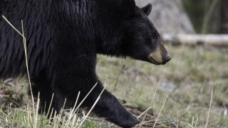 black bear - generic.jpg