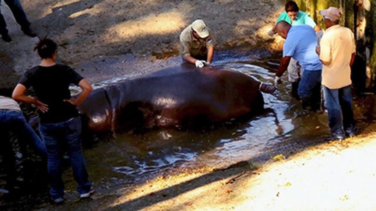 Hippo dies at zoo after 'cowardly and inhumane' attack