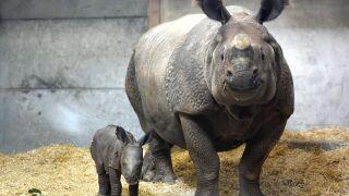 Denver Zoo rhino calf