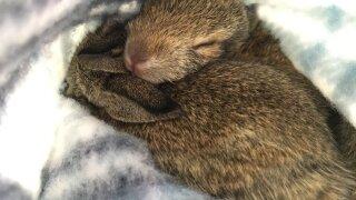 Baby Bunnies rancho coastal humane society 2019