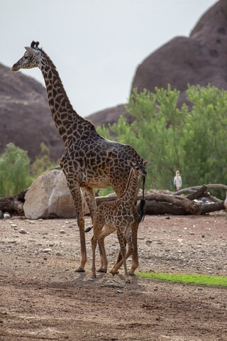 Baby giraffe, Rafiki, explores her habitat at the Phoenix Zoo for the first time