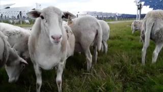 sheep grazing at TECO solar farm
