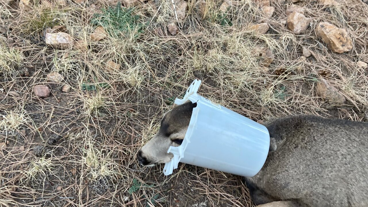 CPW wildlife officers help deer with head stuck in chicken feeder