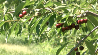 Flathead Lake cherry harvest in peak season