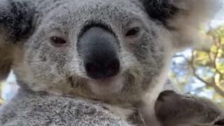 Australian Wildlife Park Welcomes First Koala Joey Born Since Wildfires