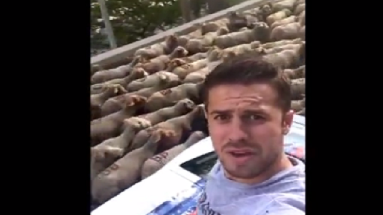 WATCH: Sheep traffic jam traps supercars